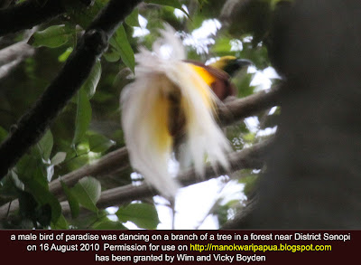 This male paradise bird was seen in Tambrauw mountains of Indonesia