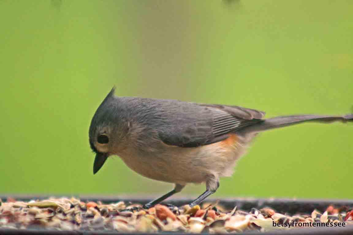 JOYFUL REFLECTIONS: My Backyard Birds