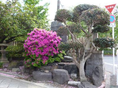 櫻宮神社のツツジ