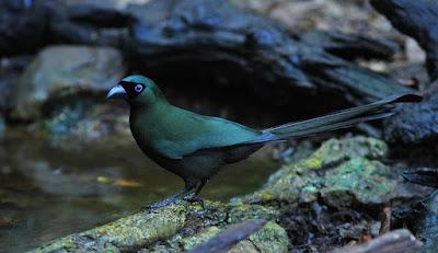 Burung Murai Batu Irian