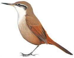 Ochetorhynchus melanurus