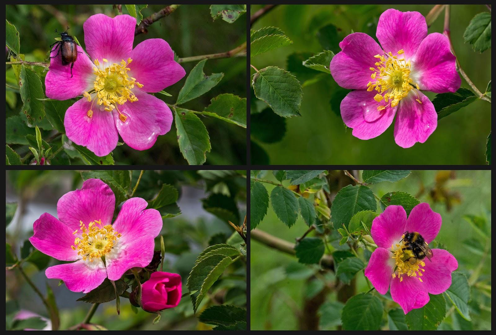 torrenti rosa