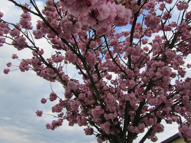 Fioritura Prunus serrulata