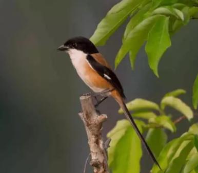 Daftar Harga Burung Pentet Jawa Dan Madura November 2018 Den Family