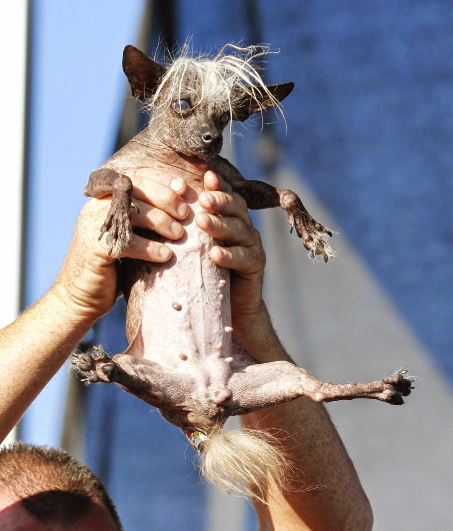 SweePee Rambo, a Chihuahua/Chinese Crested mix, is held by the owner, during World's Ugliest Dog Contest, at the Sonoma-Marin Fair, Friday, June 20, 2014, in Petaluma, Calif.