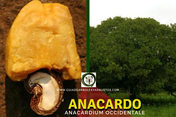 El Anacardo, Anacardium occidentale, árbol de la familia Anacardiácea originario de la Amazona