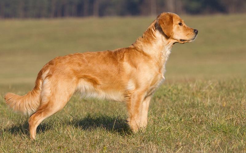 Golden Retriever - Breed Profile | Australian Dog Lover
