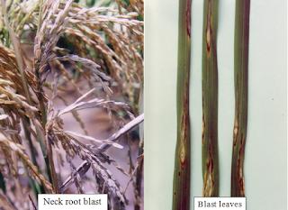 """blast disease"",""rice blast disease"",""rice blast disease management"""