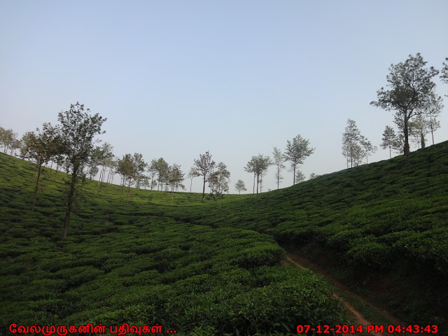 Tea garden from the Meppadi region of Wayanad