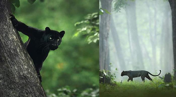 Rare Black Panther Spotted in Kabani called Bagheera