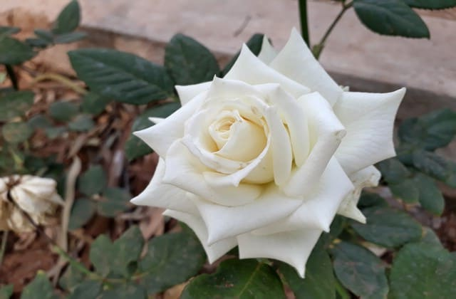 tanaman hias mawar putih yang cantik jelita