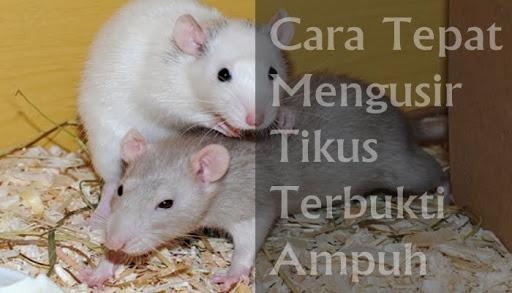 Tikus Dijamin Pergi, Rahasia Mengusir Tikus di Rumah Dengan Bahan Aman Tanpa Racun