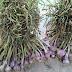 Quảng Bình bảo tồn giống tỏi tía đặc sản Ba Đồn