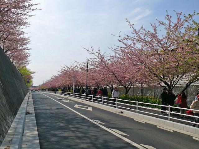 三浦海岸駅 小松ヶ池公園 河津桜