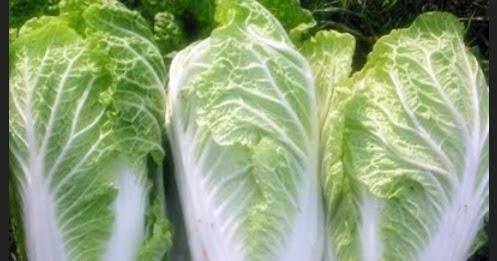 7 Langkah mudah budidaya tanaman sawi putih untuk hasil