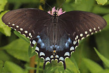 Mississippi Butterfly