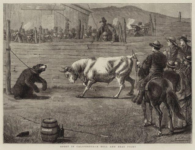 Lucha entre toros y osos en California