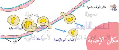 إنسلال الخلايا البلعمية الدوارة من الوعاء الدموى نحو مكان الإصابة