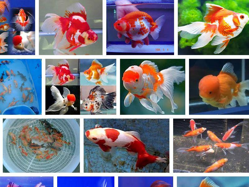 Harga Ikan Mas koki
