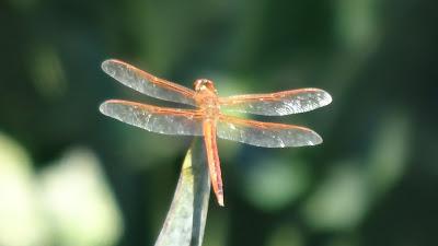 Orangene Libelle - Needham's Skimmer - Libellula needhami