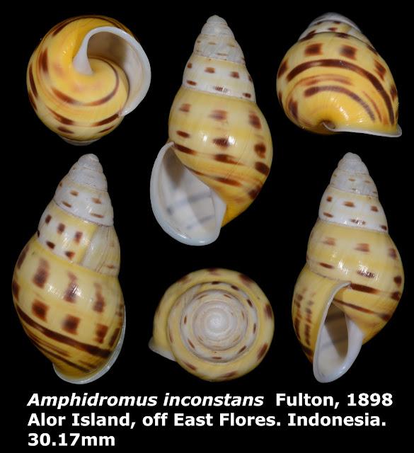 Amphidromus inconstans 30.17mm