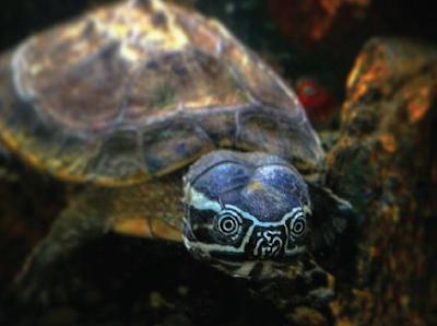 Habitat & karakteristik Malayan Snail Eater Turtle