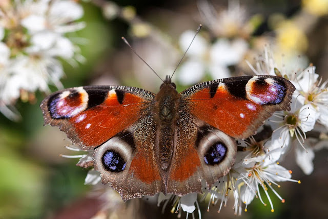 Peacock Butterfly emerged in March