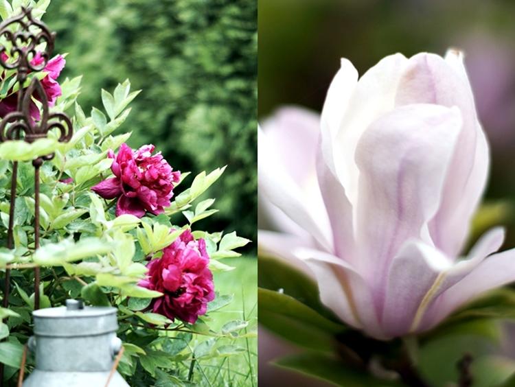 Collage einer dunkelroten Bauernpfingstrose und einer rosafarbenen Magnolie { by it's me! }