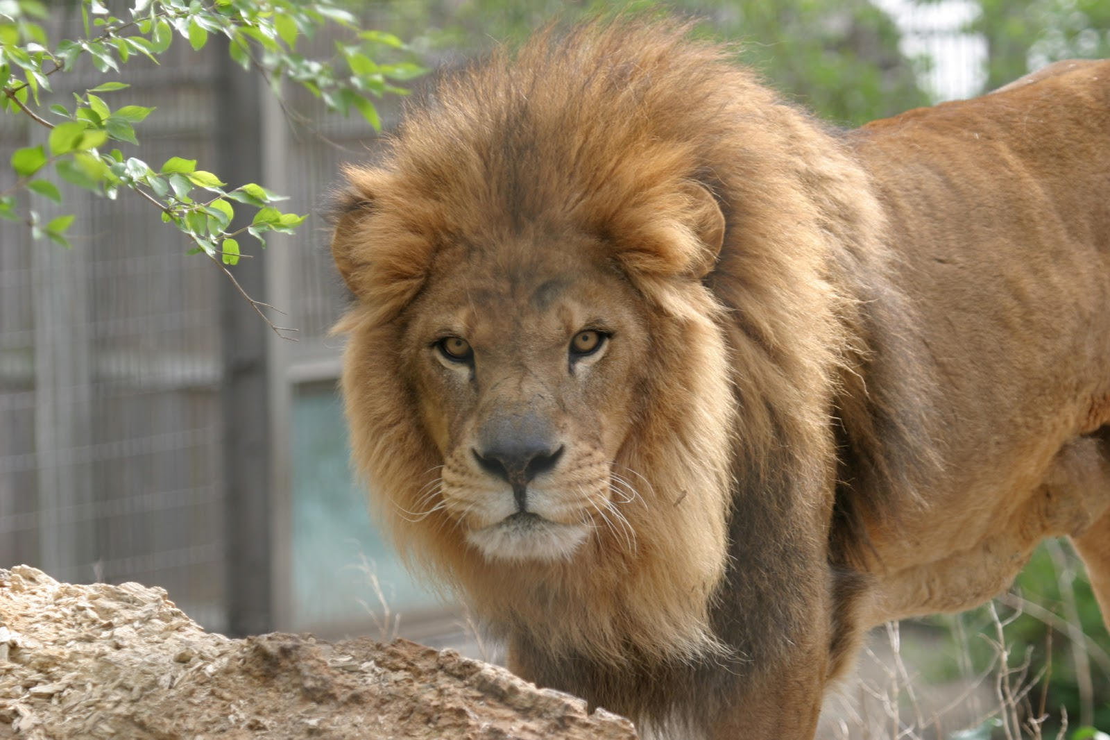 Best Beautiful Wallpaper: Indian Lion And African Lion And