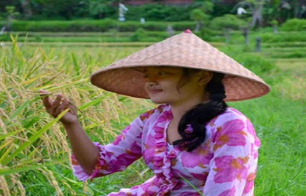 Togel mimpi melihat padi di sawah menguning