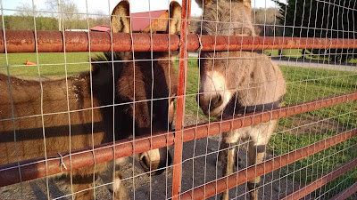two miniature donkeys behind a gate