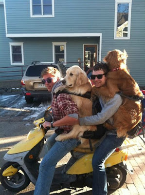 funny dog pictures, guys with golden retrievers on scooter, golden retrievers in backpacks, golden retrievers in baby carriers, dog in baby carrier, dog on scooter