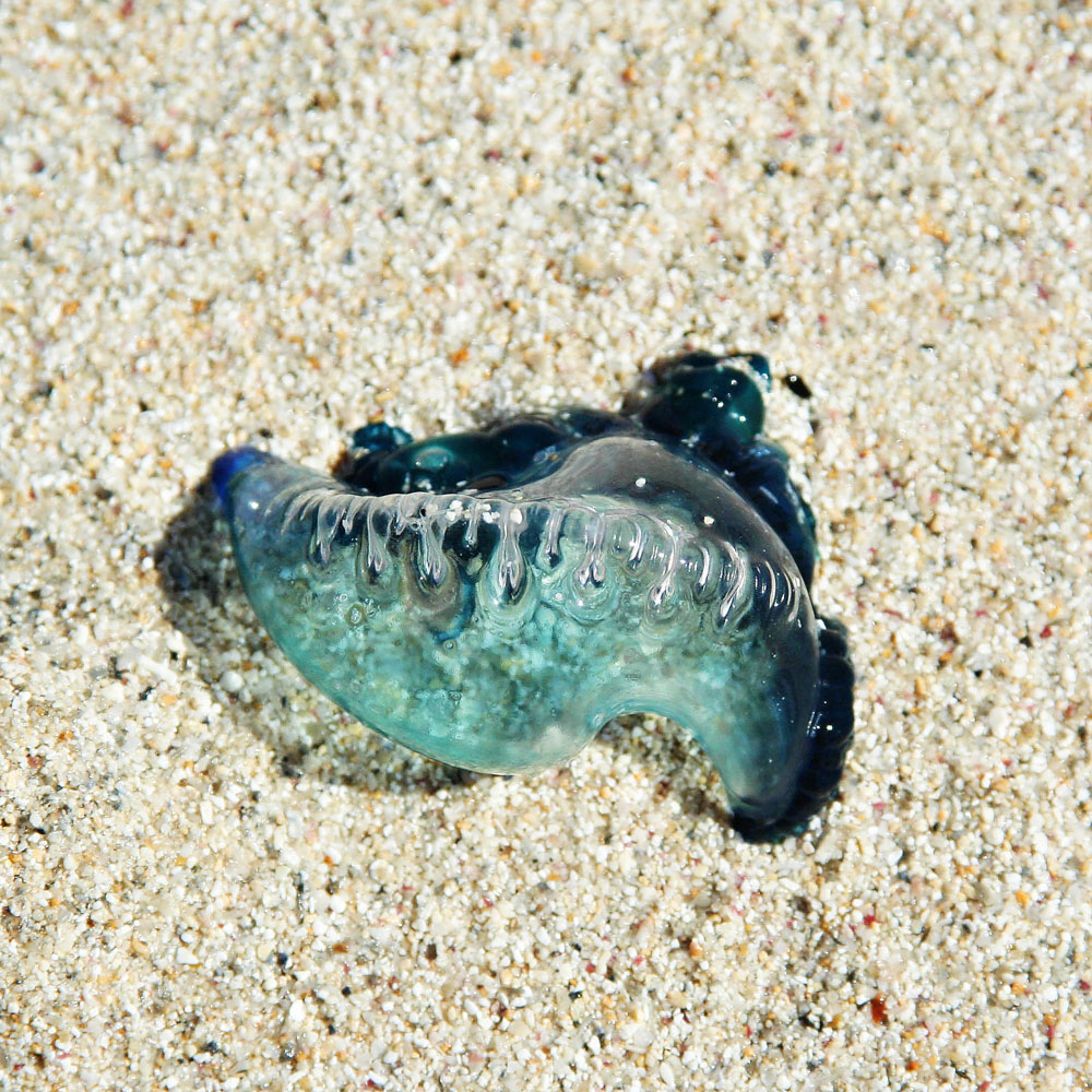 Baby Portuguese Man Of War