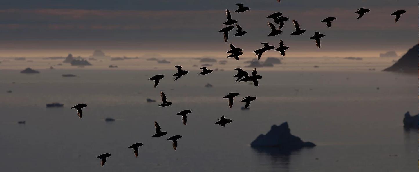 Dovekies In Flight In Greenland