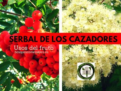 El Fruto del Serbal de los Cazadores se ha utilizado en forma de mermelada, alcohol, licor o vinagre