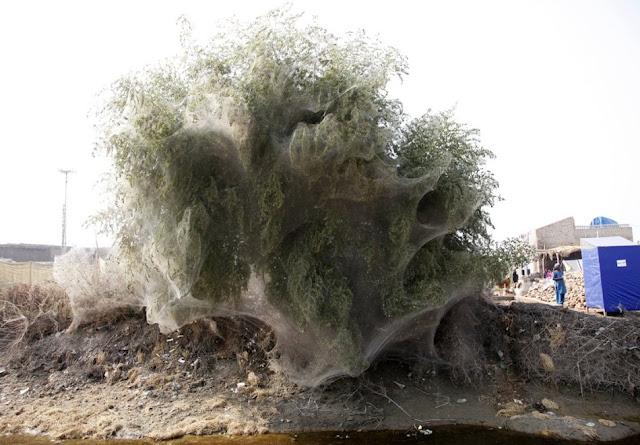 Árvores cobertas com teias de aranha no Paquistão