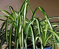 Air purifier Spider Plant (Chlorophytum comosum