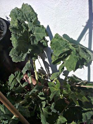 BERZA, Brassica oleracea, Fichas de Plantas Medicinales del Mediterráneo