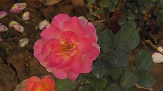 Rose Flower in National Rose Garden Delhi 2070