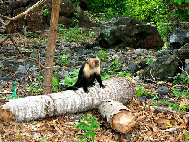 Wild capuchin monkeys, Ometepe Island, Nicaragua