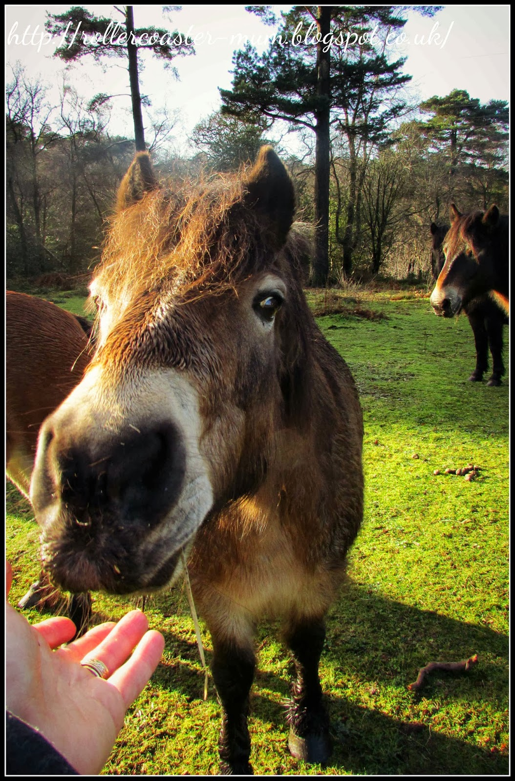 saying hello to a friendly Exmoor pony