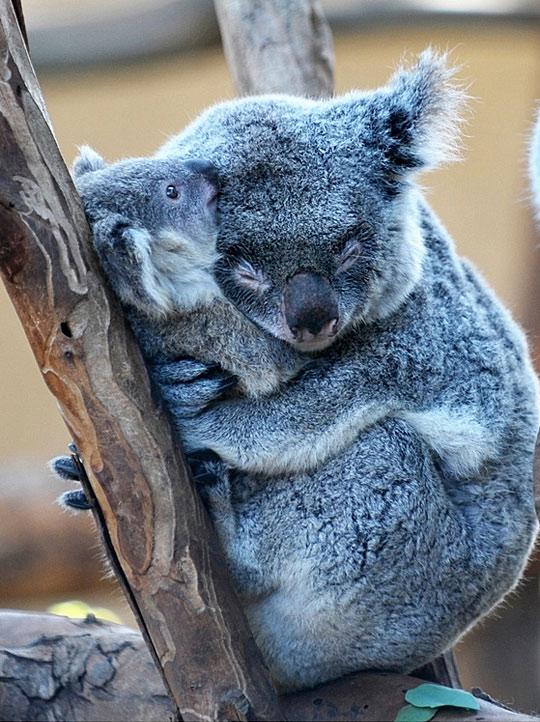 koala cute koalas animals bear bears cutest animal hug adorable hugging funny hugs really very being coala zoo