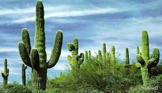 Manfaat Kaktus Bagi Kehidupan Manusia