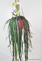 Rhipsali-crucuformis-hoja-plana