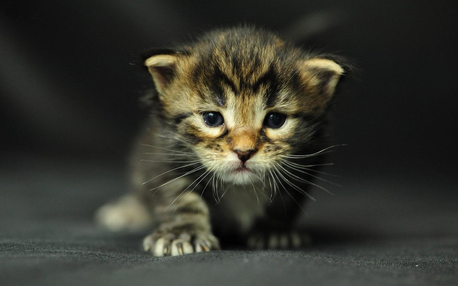 tortoiseshell cat breed