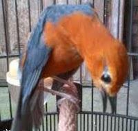 Burung Anis Merah Atau Burung Anis Bata, Burung Teler