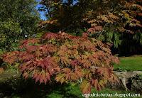 Klon japoński 'Aconitifolium'- Acer japonicum 'Aconitifolium'