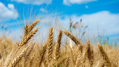Σιτάρι, wheat