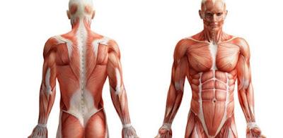 Musculos y biologia de los organismos
