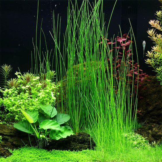Cây cỏ tóc trong một hồ thủy sinh